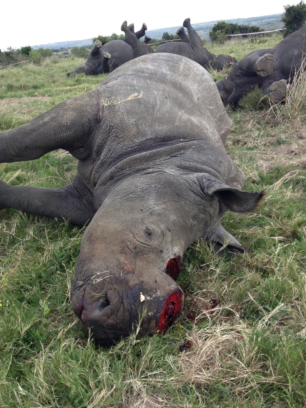 Four rhinos were tranquilized, dehorned and killed by poachers at South Africa's Lalibela Game Reserve